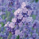 Lavender Melissa Lilac - 5 Plug Plants