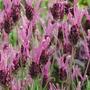 Lavender Papillon - 5 Plug Plants