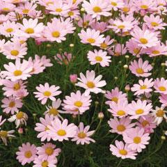 Marguerites Summit Pink - 5 Plug Plants