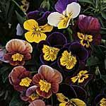 Viola Fancy Shades Mix Seeds