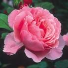 David Austin Rose Brother Cadfael - One Bareroot Plant