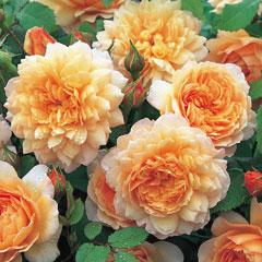 David Austin Rose Grace - One Bareroot Plant