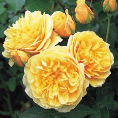 David Austin Rose Graham Thomas - One Bareroot Plant