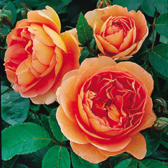 David Austin Rose Pat Austin - One Bareroot Plant
