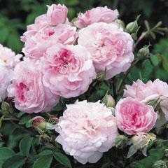 David Austin Rose Rosemoor - One Bareroot Plant