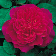David Austin Roses Sophys Rose - One Bareroot Plant