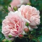 David Austin Rose Wild Eve - One Bareroot Plant