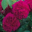 David Austin Rose William Shakespeare 2000 - One Bareroot Plant