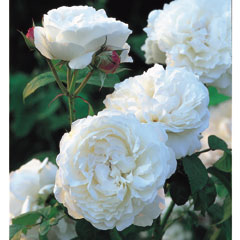 David Austin Rose Winchester Cathedral - One Bareroot Plant