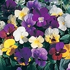 Viola F1 Super Hybrid Mix Seeds