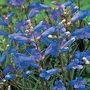 Penstemon Tubular Bells Rose