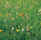 Wildflowers for a sunny meadow (wildflower plug plant collection)