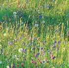 Grasses for a wildflower meadow (wild grass plug plant collection)