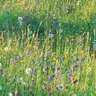 Wildflowers for a boggy meadow (wildflower plug plant collection)
