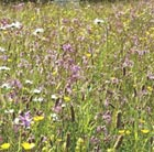 Wildflowers for attracting bumble bees (wildflower plug plant collection)