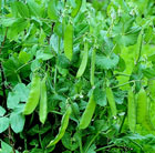 Luscious Legumes Collection (vegetable plug plant collection)