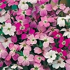Virginian Stock Confetti Mix Seeds