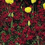 Wallflower Fire King Seeds