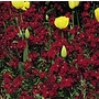 Wallflower Fire King Seeds
