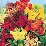 Wallflower F1 Treasure Mix Seeds