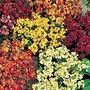 Wallflower Persian Carpet Mix Seeds