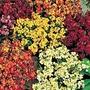 Wallflower Persian Carpet Mix Seeds