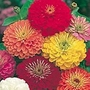 Zinnia Fireworks Mix Seeds