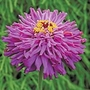 Zinnia Big Boy Seeds