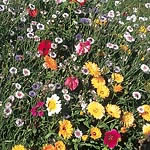 Mixed Flower Seed - Tall Varieties