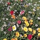 Mixed Flower Seed - Tall Varieties