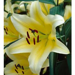 Spring Plants-Tree Lily Manisa Bulb - 3 Bulbs