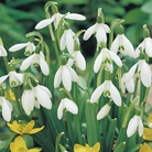 Single Snowdrops Bulb - Pack Of 25 Bulbs In The Green