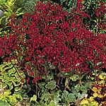Heuchera Ruby Bells Seeds