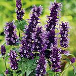 Agastache Black Adder Plants
