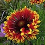 Gaillardia Frenzy Plants