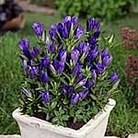 Gentiana Blue Rock Plants