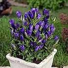 Gentiana Blue Rock Plants