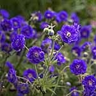 Geranium Pratense Violacea Plena Plants