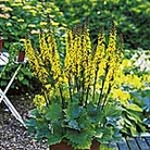 Ligularia Little Rocket Plants