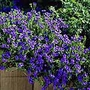 Lithodora Heavenly Blue Plants