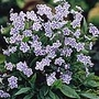 Omphalodes Starry Eyes Plants