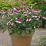 Pelargonium violareum Plants