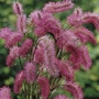 Sanguisorba Obtusa Plants