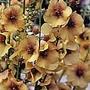 Verbascum Jackie Plants