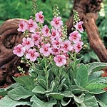 Verbascum Jackie in Pink Plants