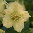 Helleborus x hybridus Harvington yellow (Lenten rose hellebore)