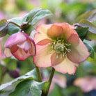 Helleborus x hybridus 'Harvington Apricots' (Lenten rose hellebore)