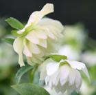Helleborus x hybridus Harvington  double white (Lenten rose hellebore)