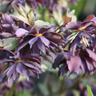 Helleborus x hybridus Harvington  double purple (Lenten rose hellebore)