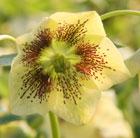 Helleborus x hybridus Harvington yellow speckled (Lenten rose hellebore)